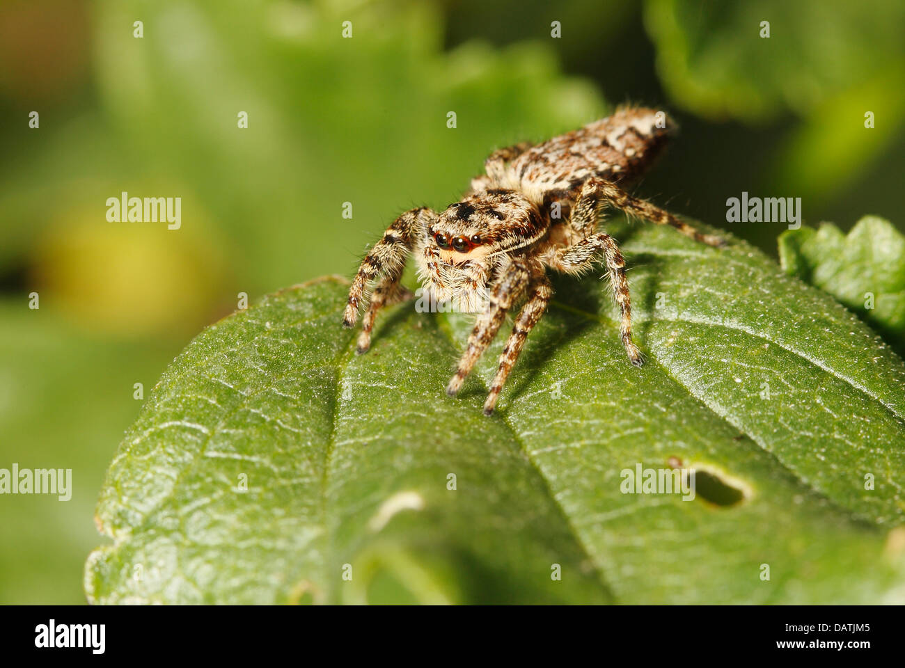 close up of fence Post Jumping Spider - Stock Image