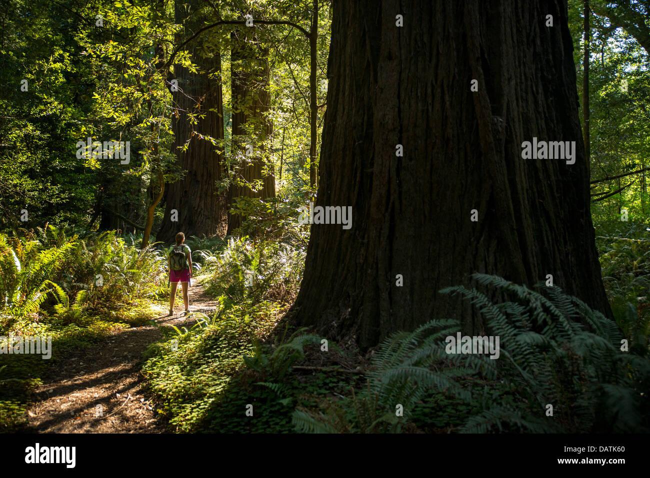 Hiker in Tall Trees Grove, Prairie Creek Redwoods State Park, Orick, California - Stock Image