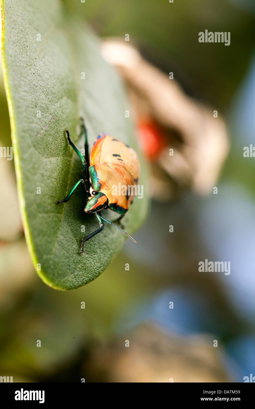 An orange jewel beetle on a Norfolk Island hibiscus. - Stock Image