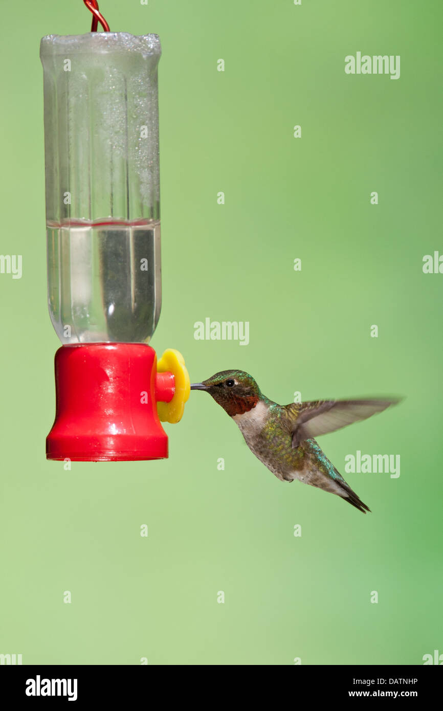 Ruby-throated Hummingbird at Feeder - vertical - Stock Image