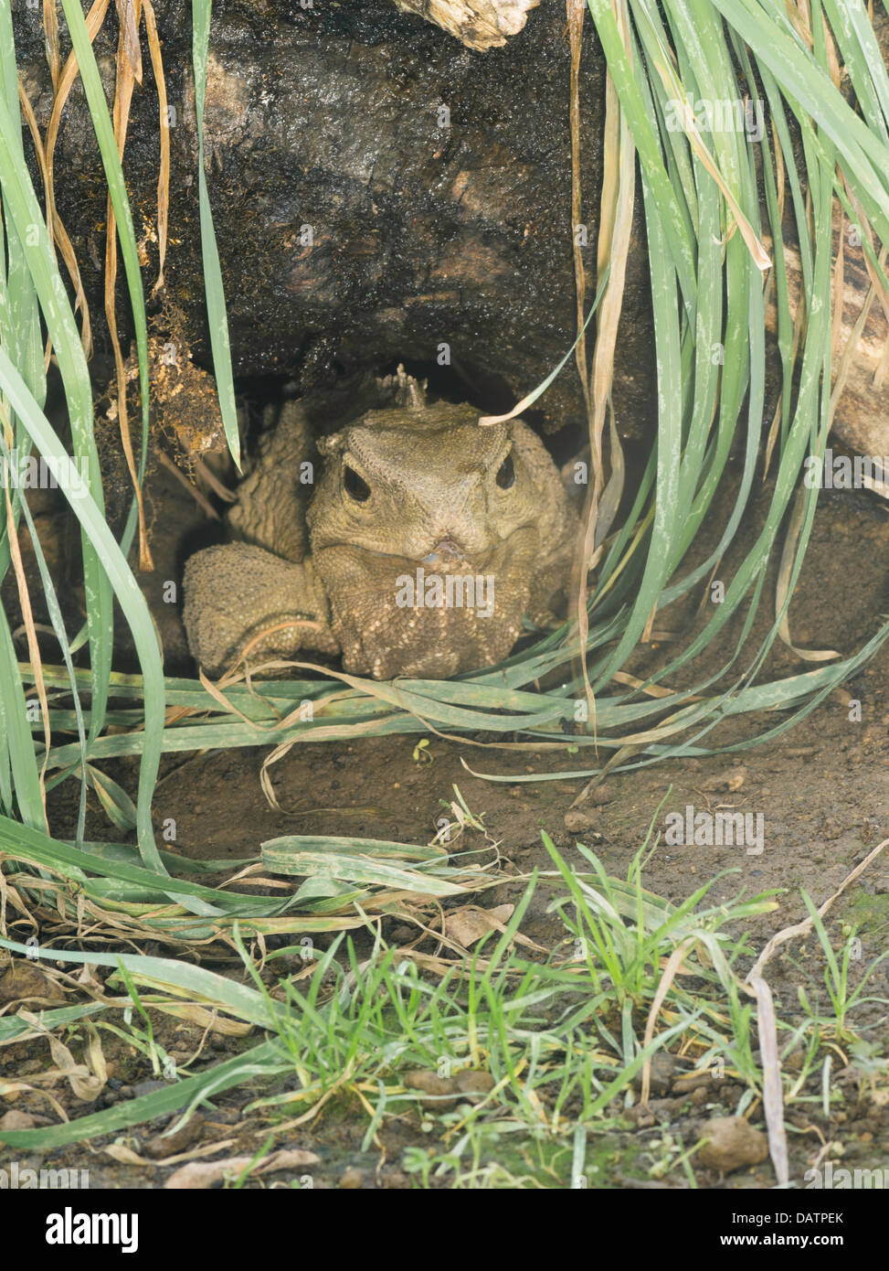 Photograph Of Henry The Tuatara Sphenodon Punctatus Living At Southland Musuem Invercargill New Zealand Became A Fath