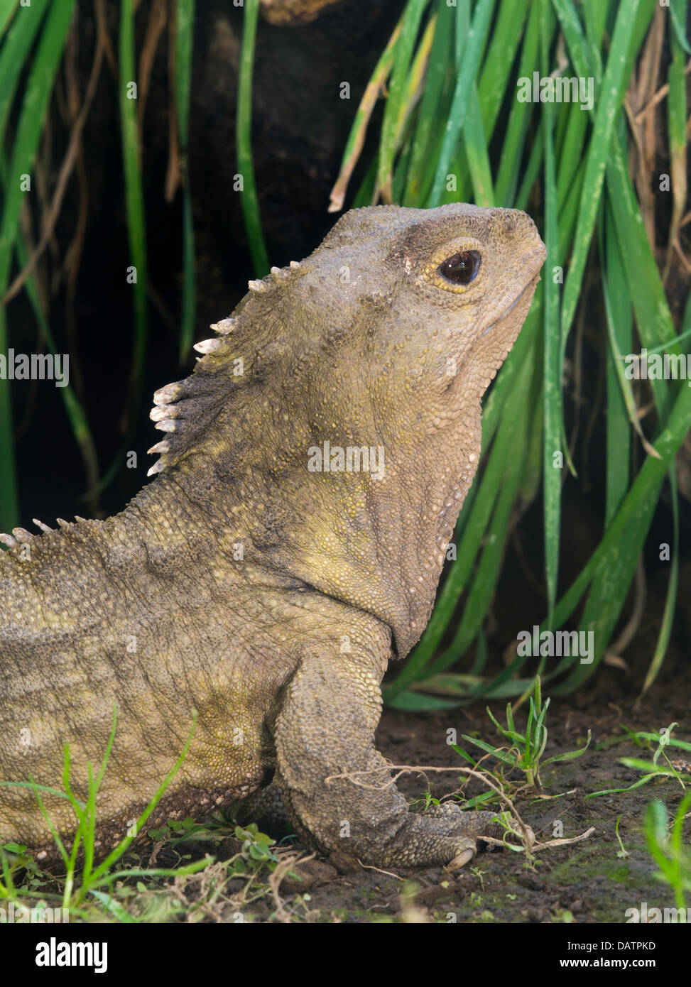 Photograph Of Henry The Tuatara Sphenodon Punctatus Living At Southland Musuem Invercargill New Zealand Became A Fat