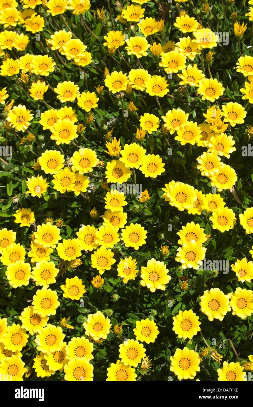 Yellow Gazania Flowers Forming A Ground Cover Stock Photo 58322306