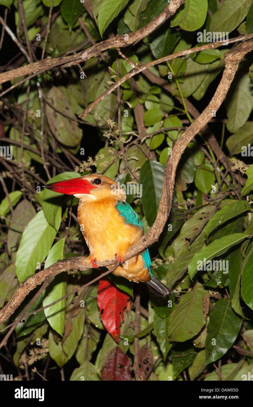 Stork-billed Kingfisher (Pelargopsis capensis) roosting on branch in lowland riparian forest at night Stock Photo