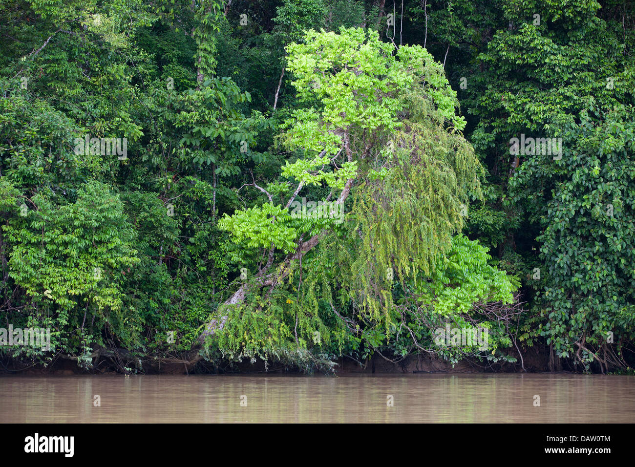 Lowland riparian forest along the Kinabantangan River - Stock Image