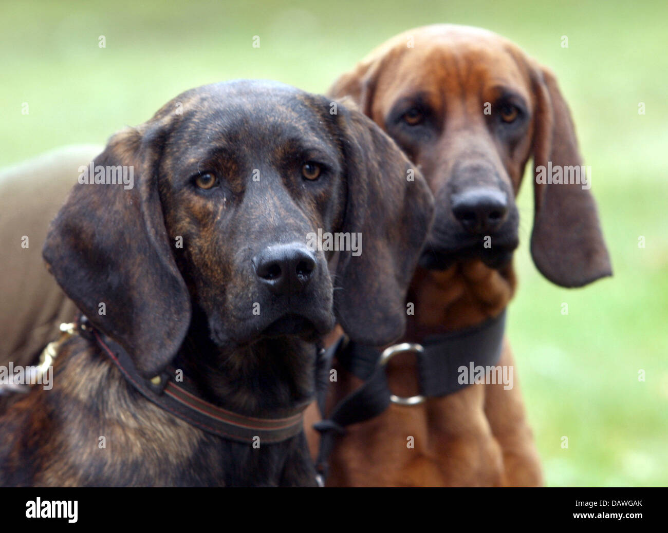 Police dogs Quincy (L), a Black Forest bloodhound, and Dr. Watson, a Bavarian mountain bloodhound, are pictured - Stock Image