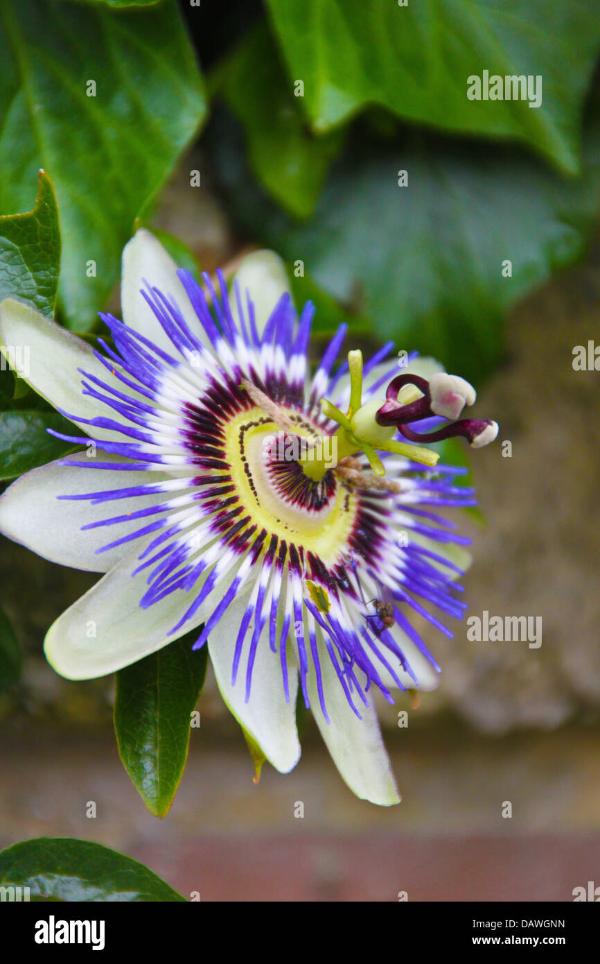 A blossoming blue passion-flower in Donostia, Spain - Stock Image