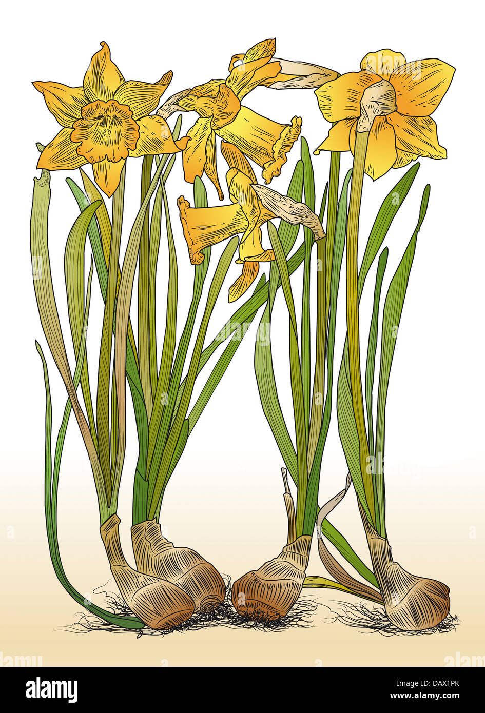 Color illustration of daffodils with bulbs in nineteenth-century style - Stock Image