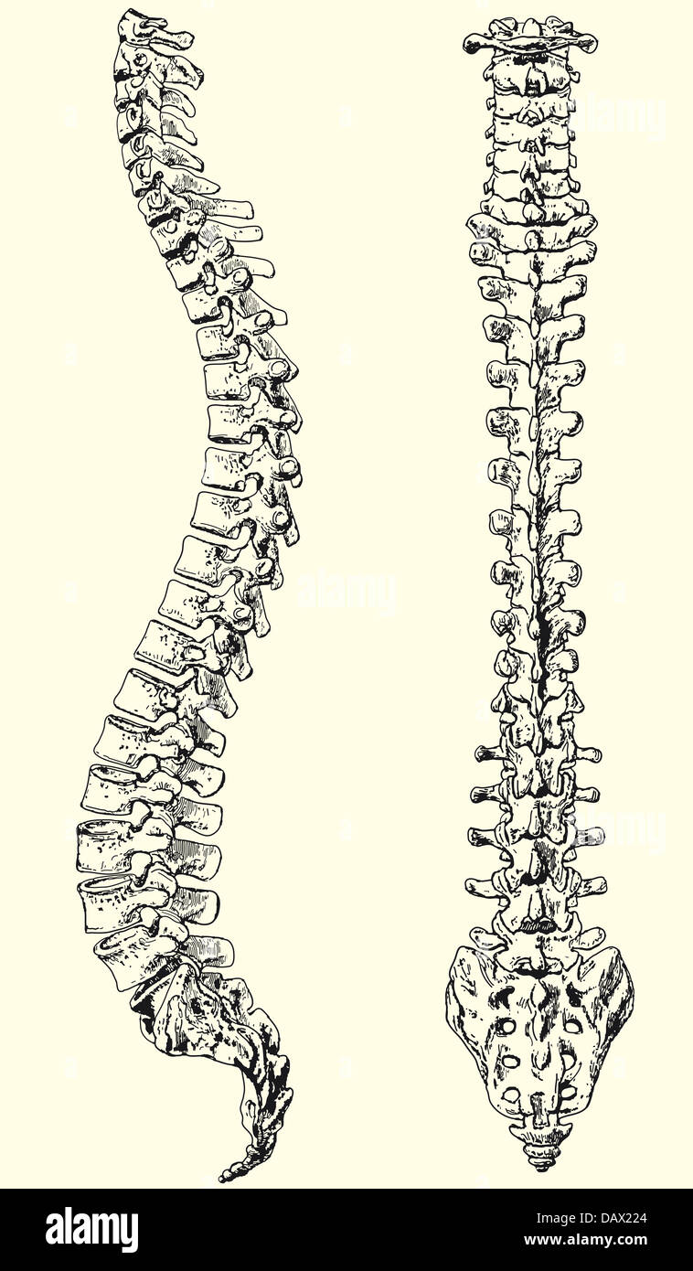 Illustration Black And White Of A Human Spine Stock Photo 58350044