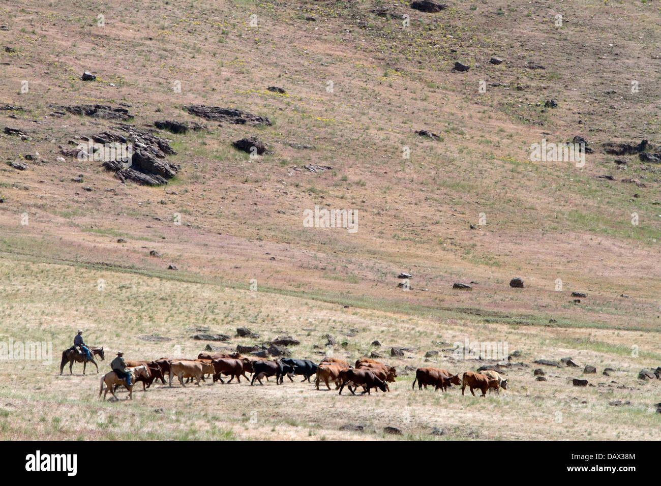 Ranchers round up cattle on grazing land near Mountain Home, Idaho, USA. Stock Photo
