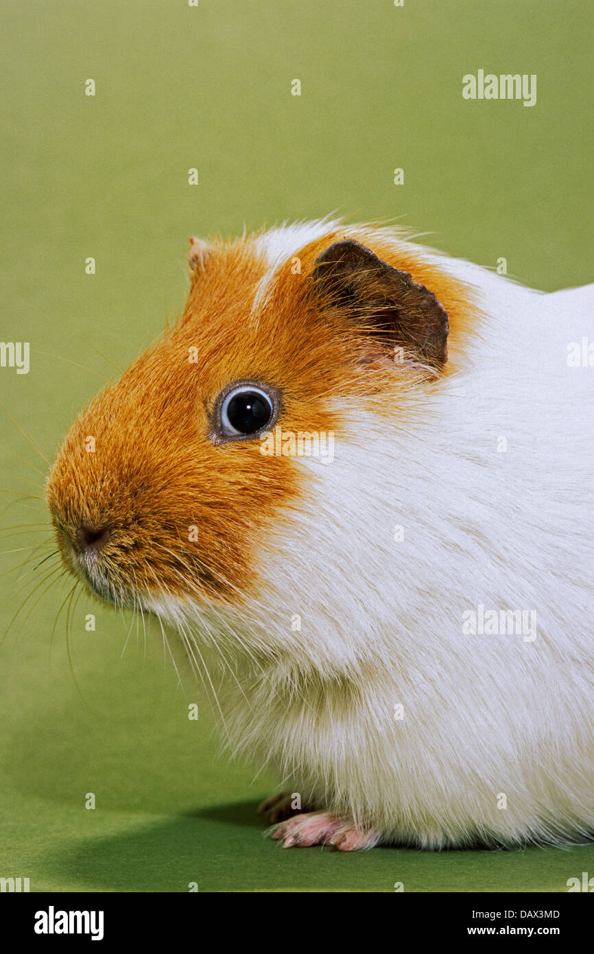 Parti Colored Cavy Guinea Pig Cavia Porcellus Portrait On Green Stock Photo Alamy