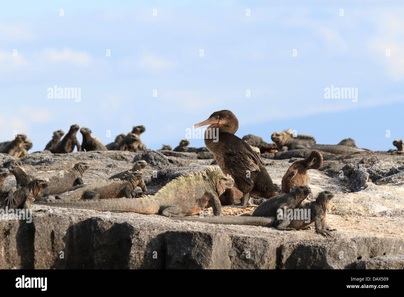 Marine Iguana, Amblyrhynchus cristatus, Flightless Cormorant, Phalacrocorax harrisi, Punta Mangle, Fernandina Island, - Stock Image