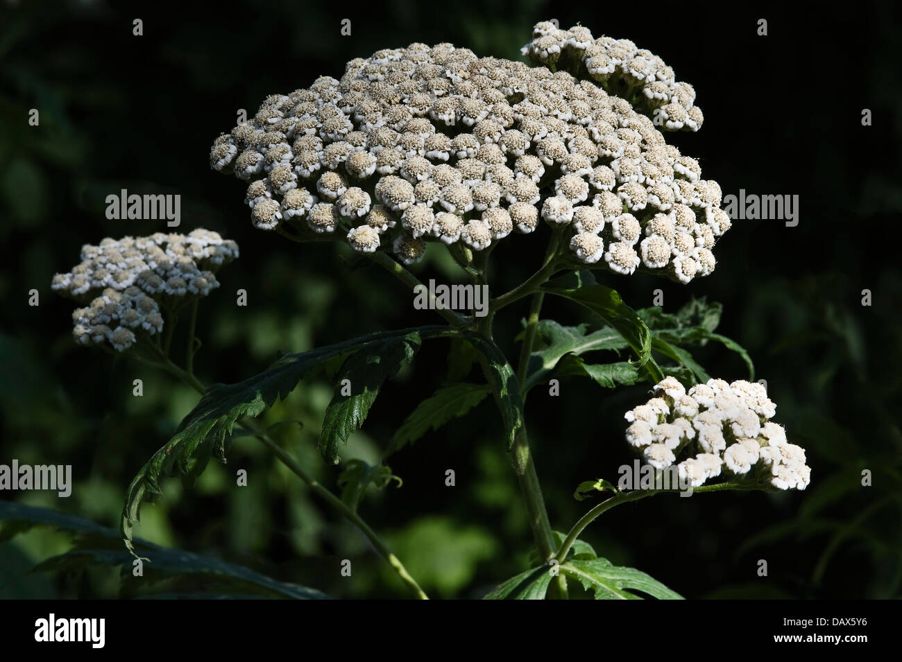 The defining characteristic of this family is the inflorescence: a simple or compound umbel. Stock Photo