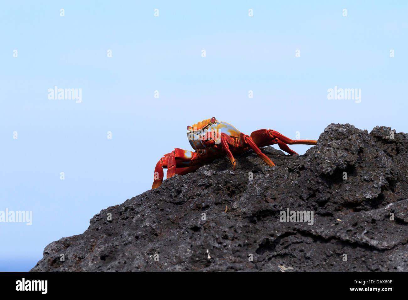 Sally Lightfoot Crab, Grapsus grapsus, Punta Espinoza, Fernandina Island, Galapagos Islands, Ecuador - Stock Image