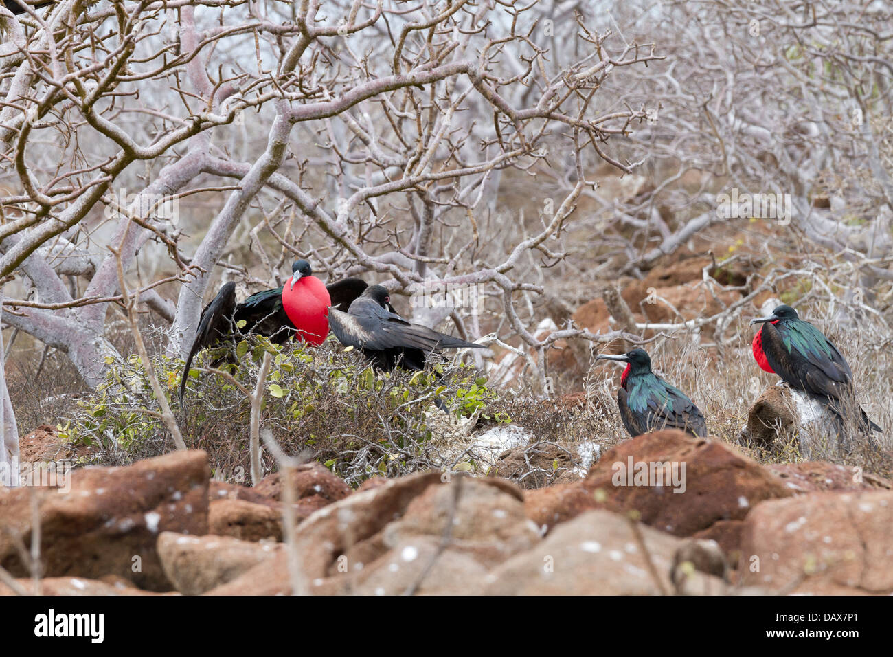 Red Gular Pouch, Frigatebirds, Fregatidae, Fregata, North Seymour, Galapagos Islands, Ecuador - Stock Image