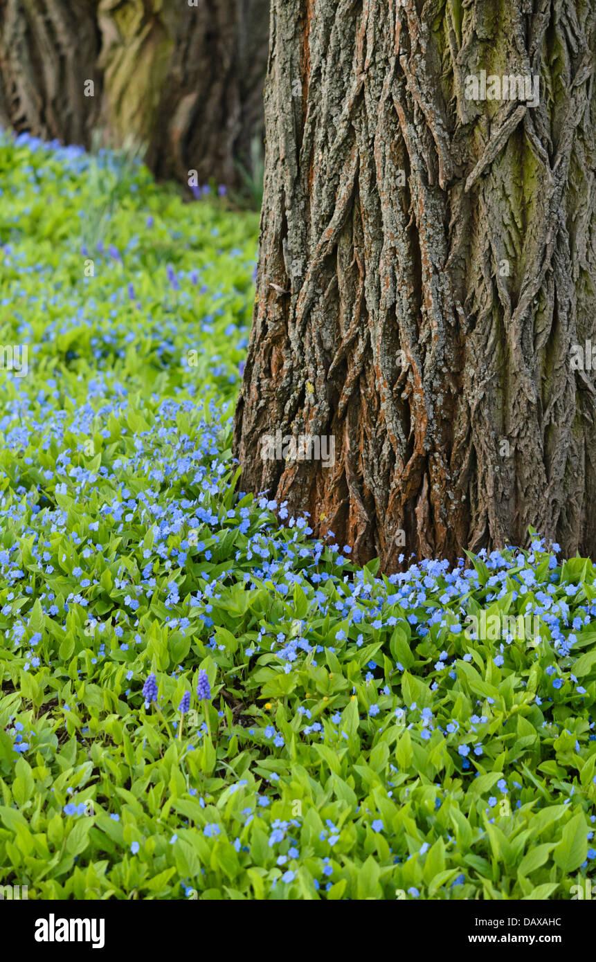 Blue-eyed Mary (Omphalodes verna) - Stock Image