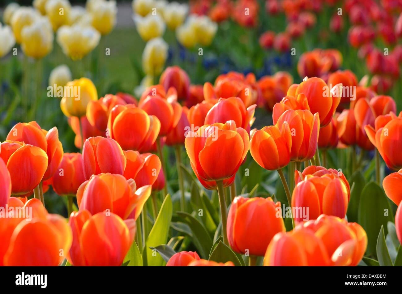 Darwin tulip (Tulipa Ad Rem) - Stock Image