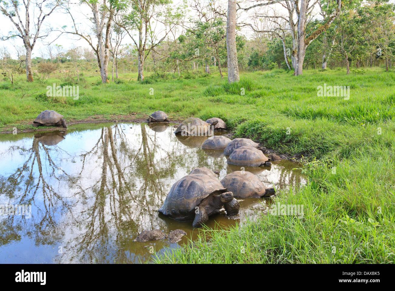 Giant Tortoise, El Chato Reserve, Santa Cruz Island, Galapagos Islands, Ecuador - Stock Image