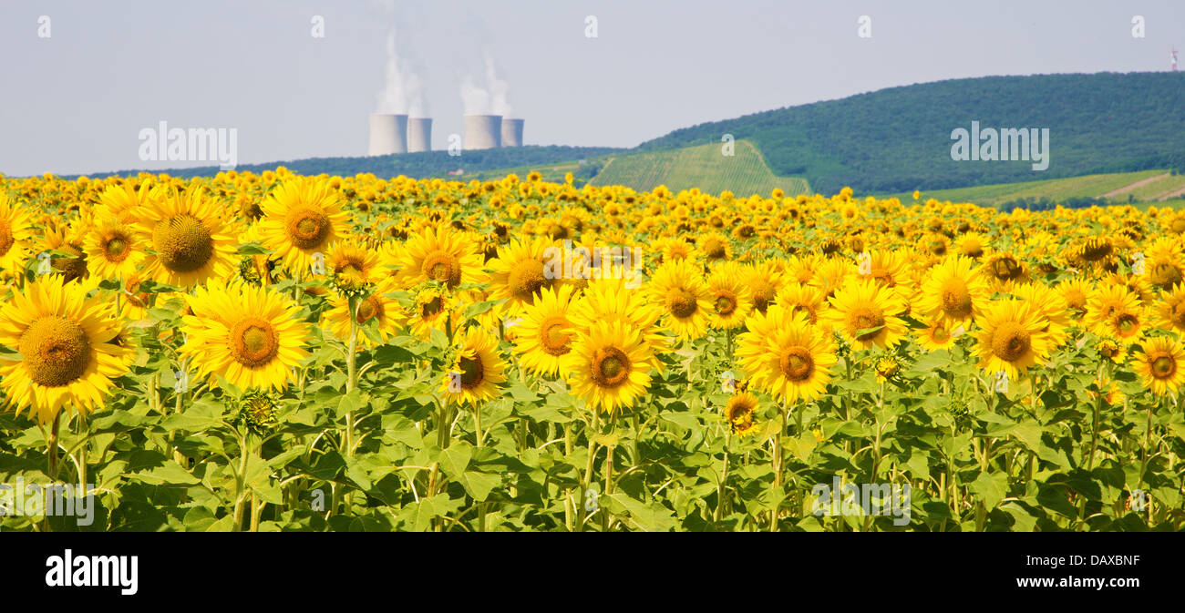 field of sunflowers and nuclear power plant - Stock Image