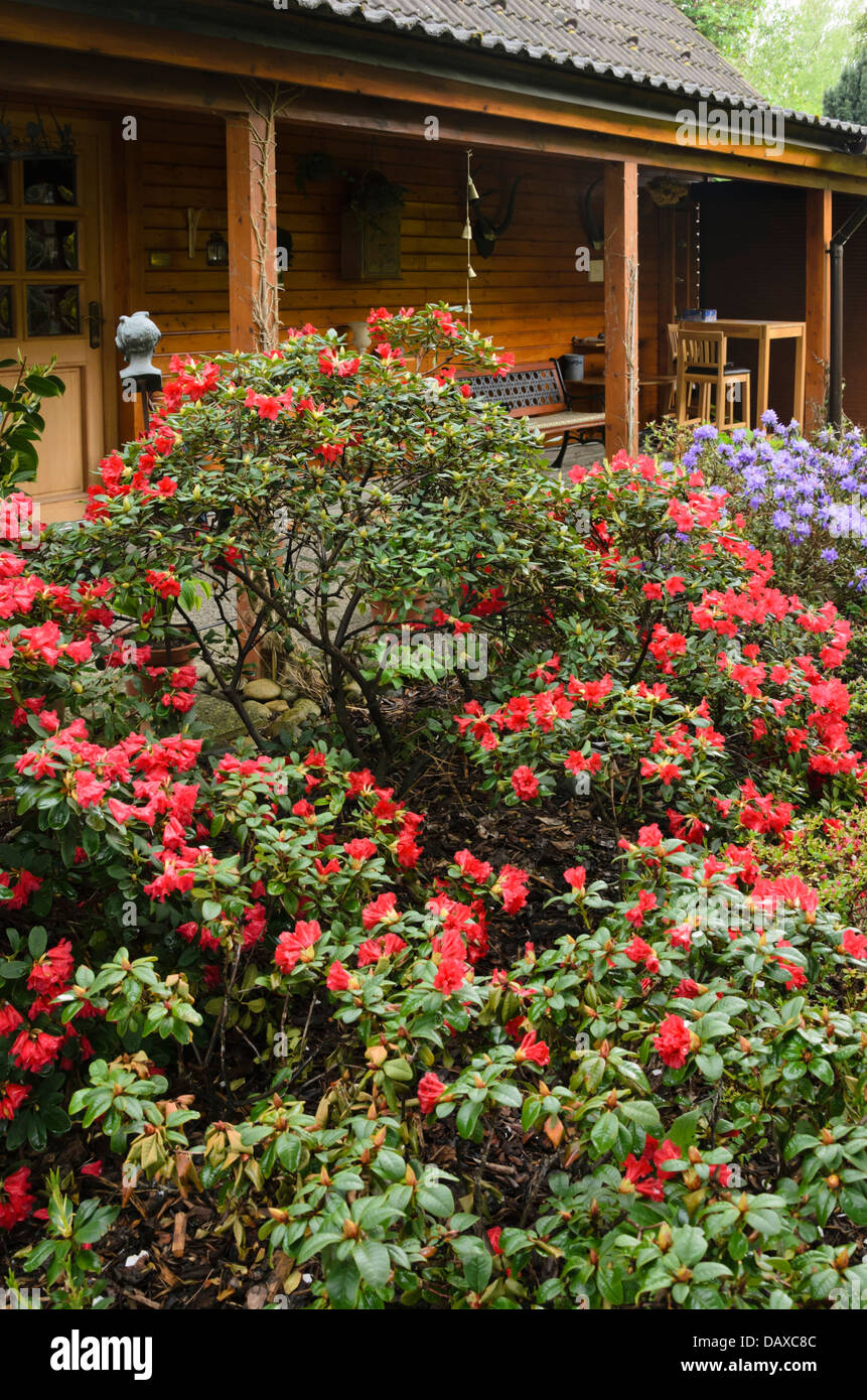 Rhododendrons Rhododendron In Front Of A Garden House Design