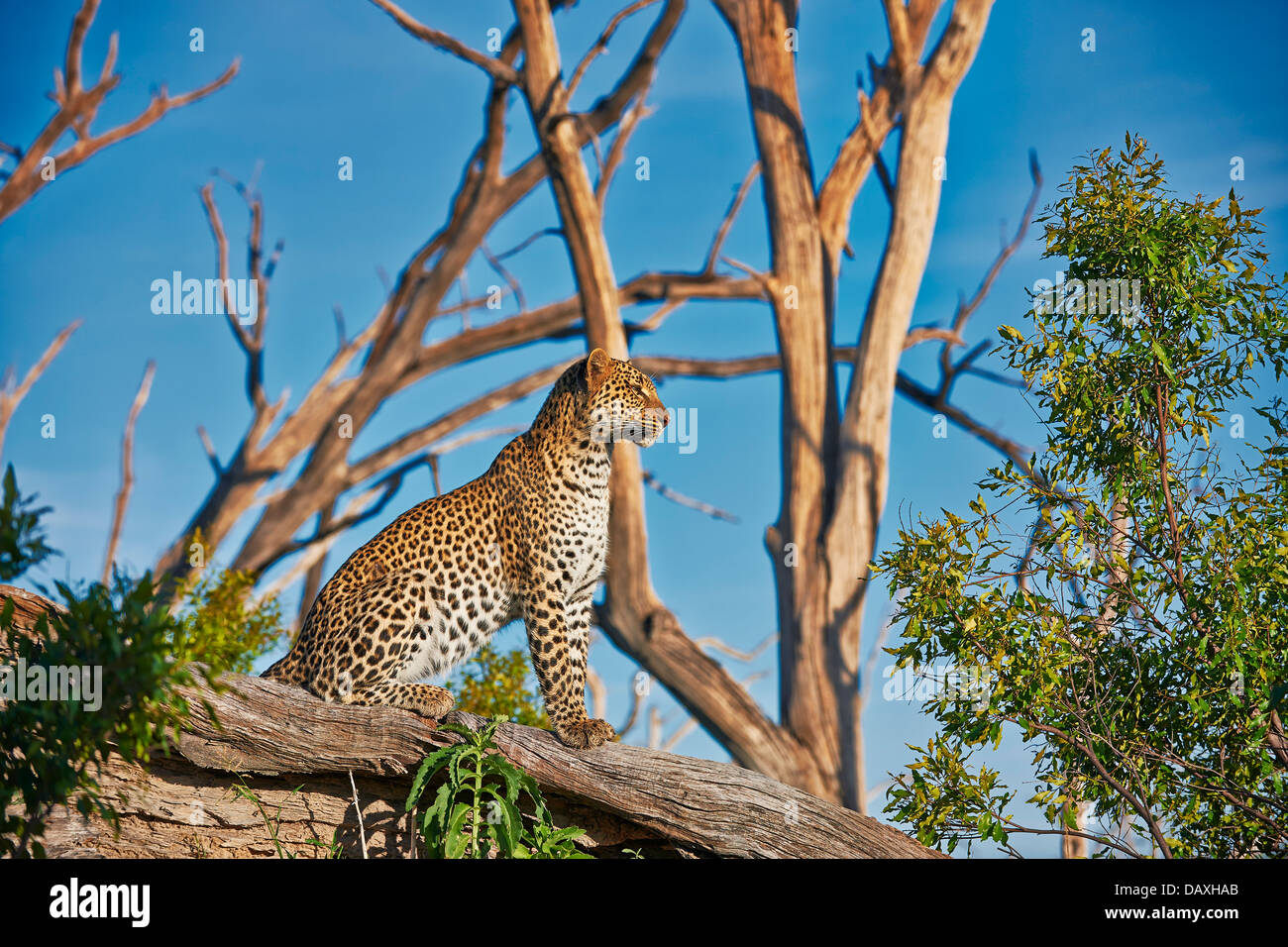 female Leopard (Panthera pardus) sitting on a branch of a dead tree, Chitabe, Okavango Delta, Botswana, Africa - Stock Image