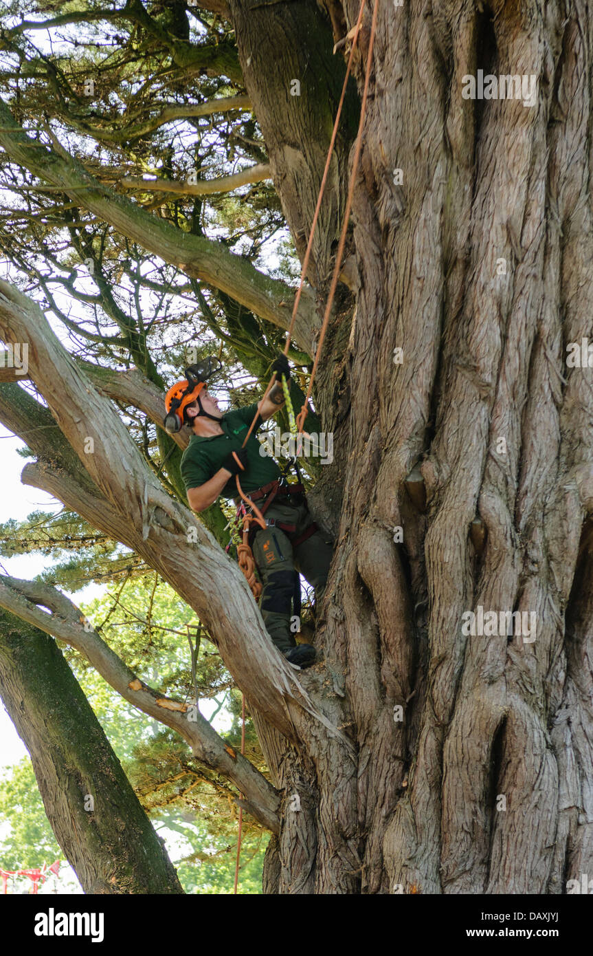 A tree surgeon uses ropes and climbing equipment to climb a very large tree - Stock Image