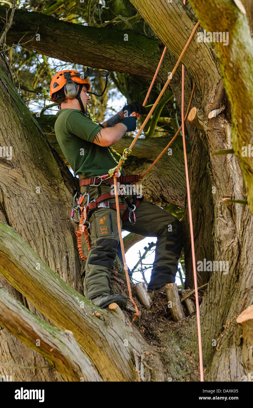 A tree surgeon uses ropes and climbing equipment to climb a very large tree Stock Photo