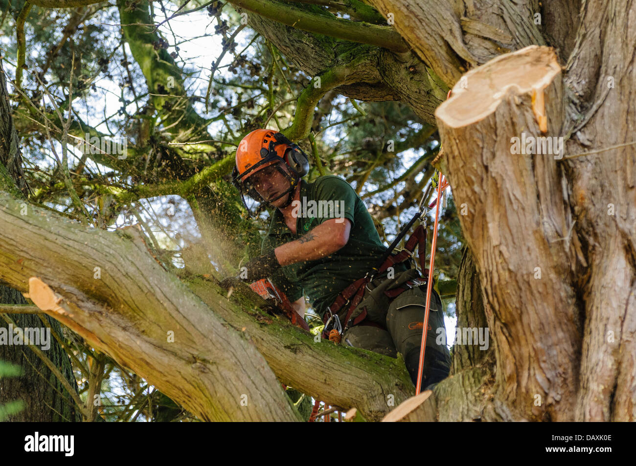 A tree surgeon uses a chainsaw to cut branches from a tree - Stock Image