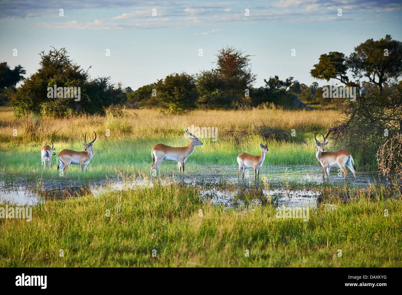 Red lechwe Antelope, Kobus leche, Chitabe, Okavango Delta, Botswana, Africa - Stock Image