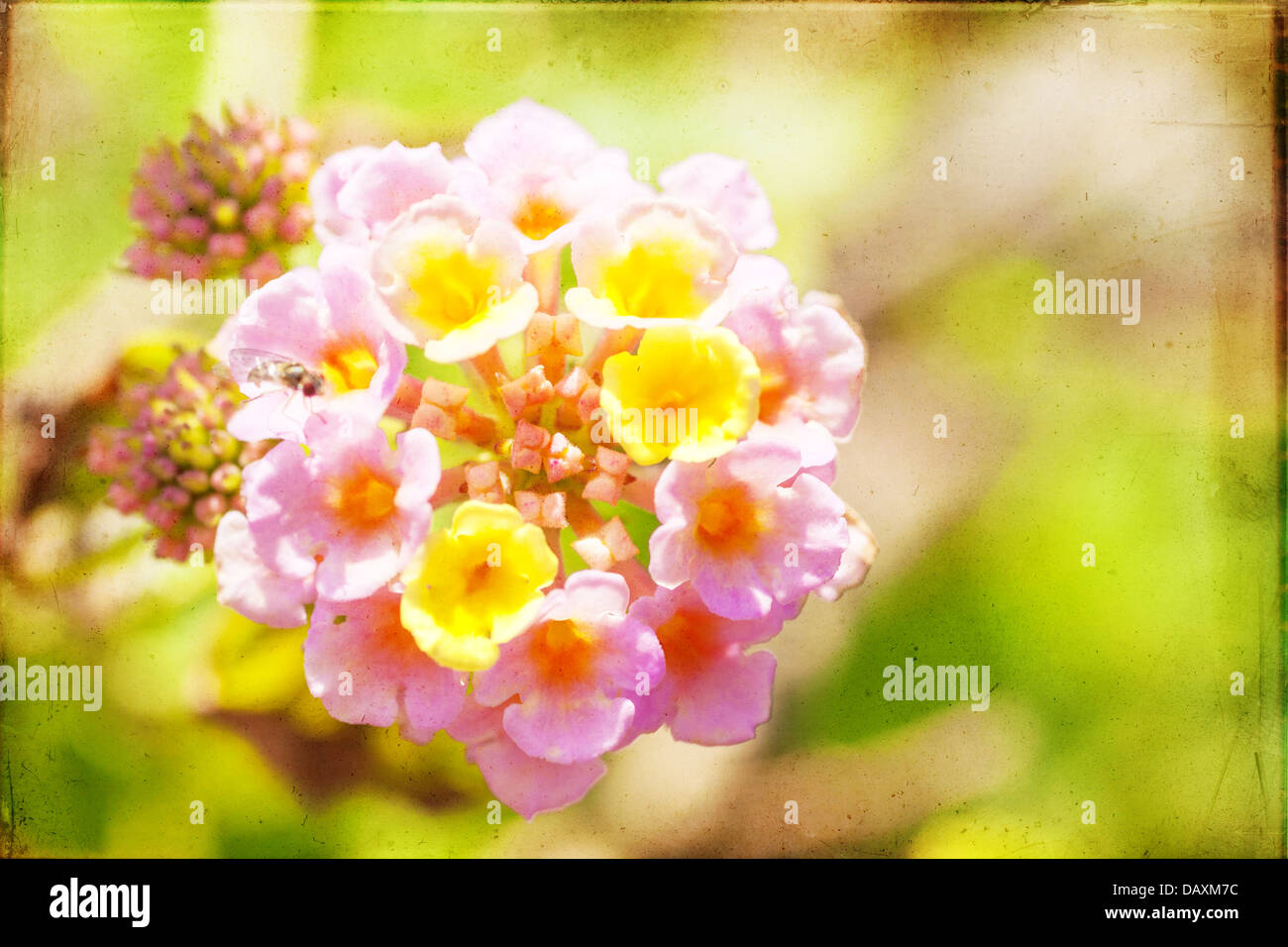 Abstract textured macro image of lantana with vintage feel - Stock Image