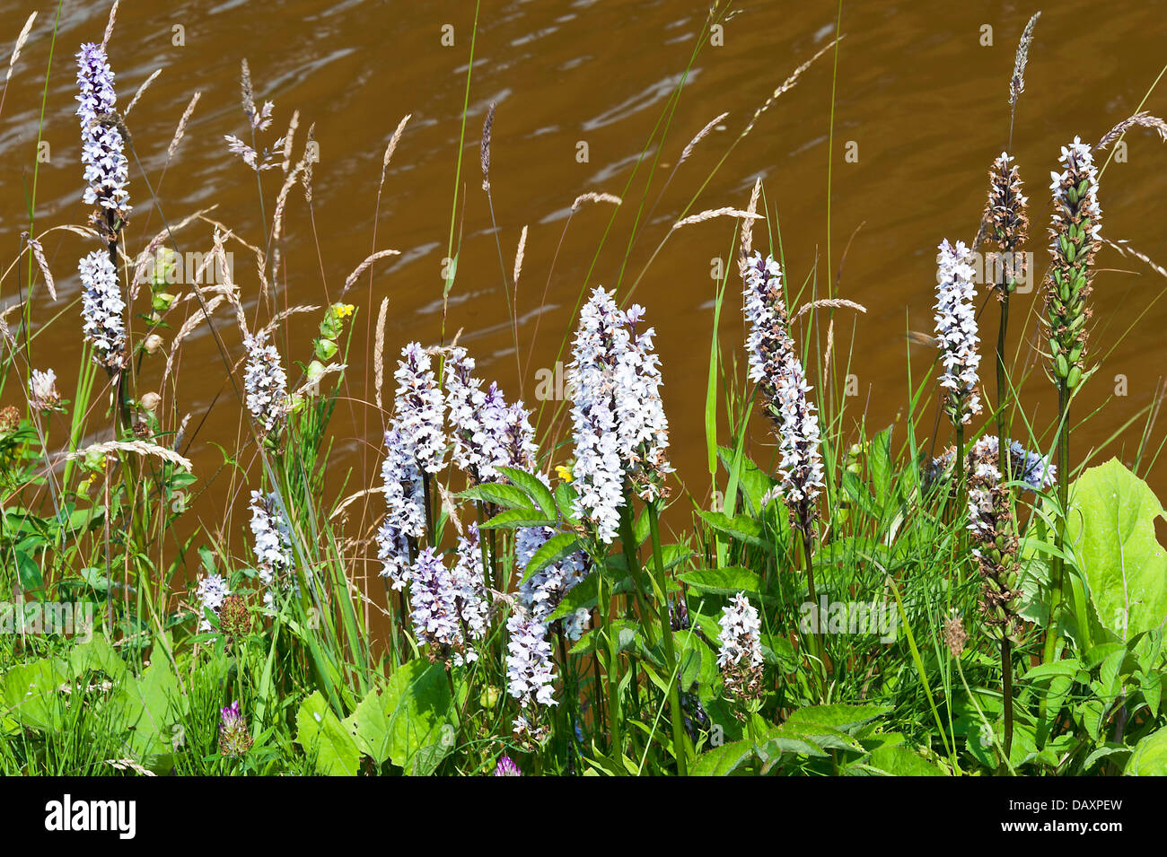 Common Spotted-Orchid Flowers on Towpath of Trent and Mersey Canal near Rode Heath Cheshire England United Kingdom - Stock Image
