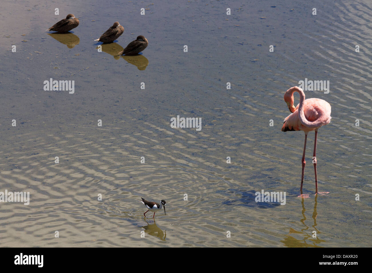 Flamingos, Phoenicopterus ruber, Saltwater Lagoon, Isabela Island, Galapagos Islands, Ecuador - Stock Image