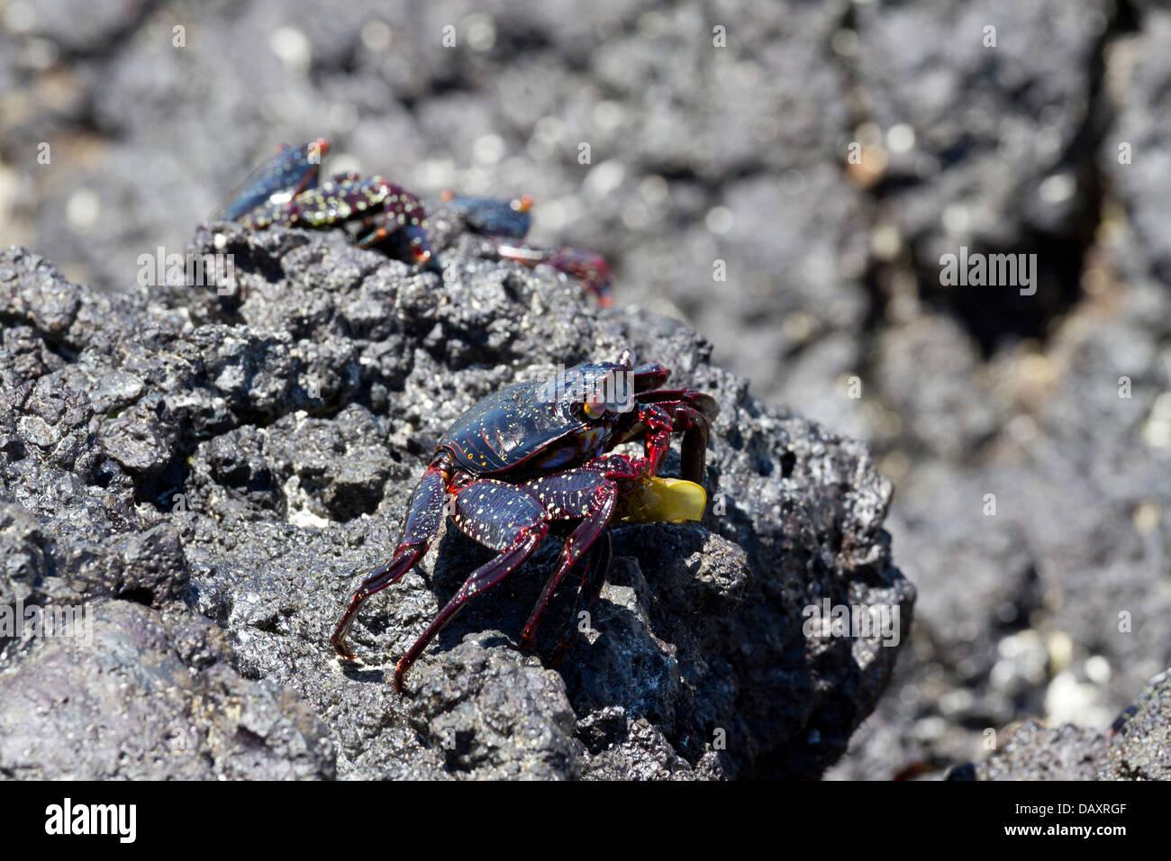 Sally Lightfoot Crab, Grapsus grapsus, Isabela Island, Galapagos Islands, Ecuador - Stock Image