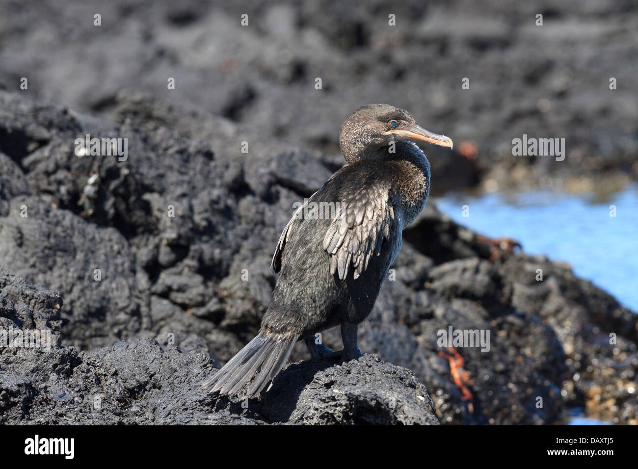 Flightless Cormorant, Phalacrocorax harrisi, Punta Moreno, Isabela Island, Galapagos Islands, Ecuador Stock Photo