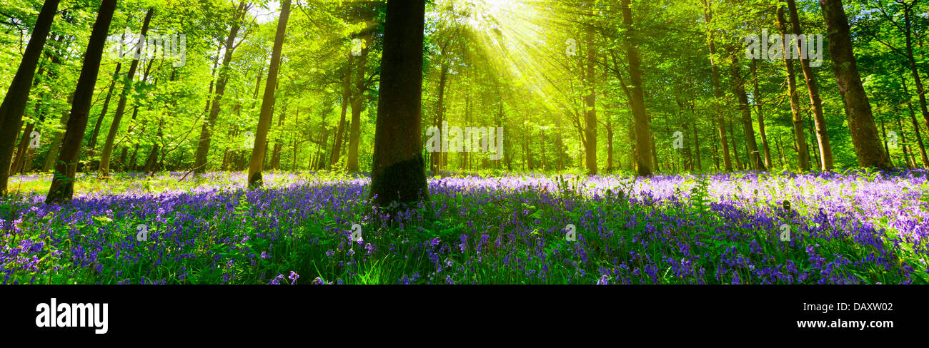 Panoramic view inside a bluebell wood with light streaming through the trees. - Stock Image
