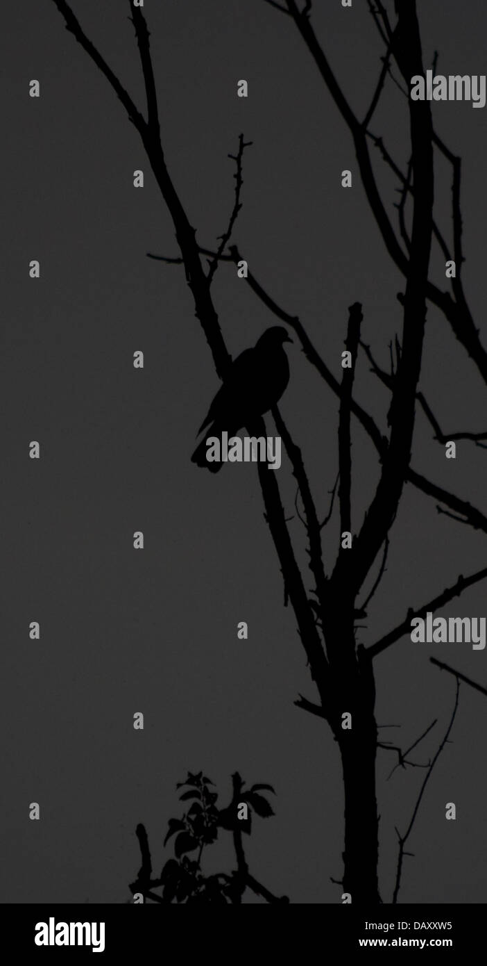 This is a photograph of a pigeon is a tree (bw) (Black and white image) - Stock Image