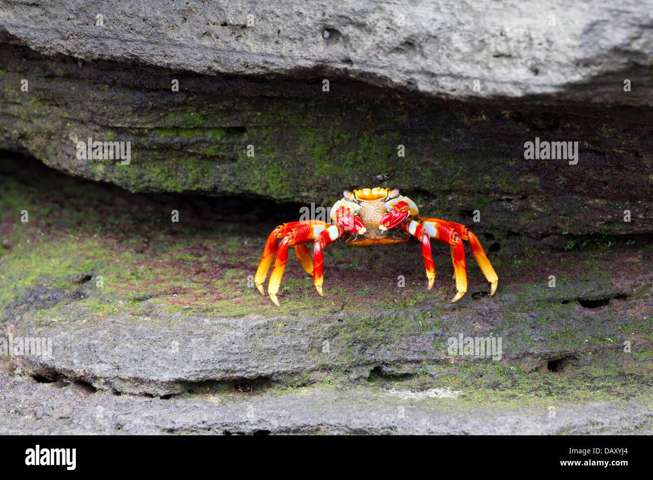 Sally Lightfoot Crab, Grapsus grapsus, Puerto Egas, Santiago Island, Galapagos Islands, Ecuador - Stock Image