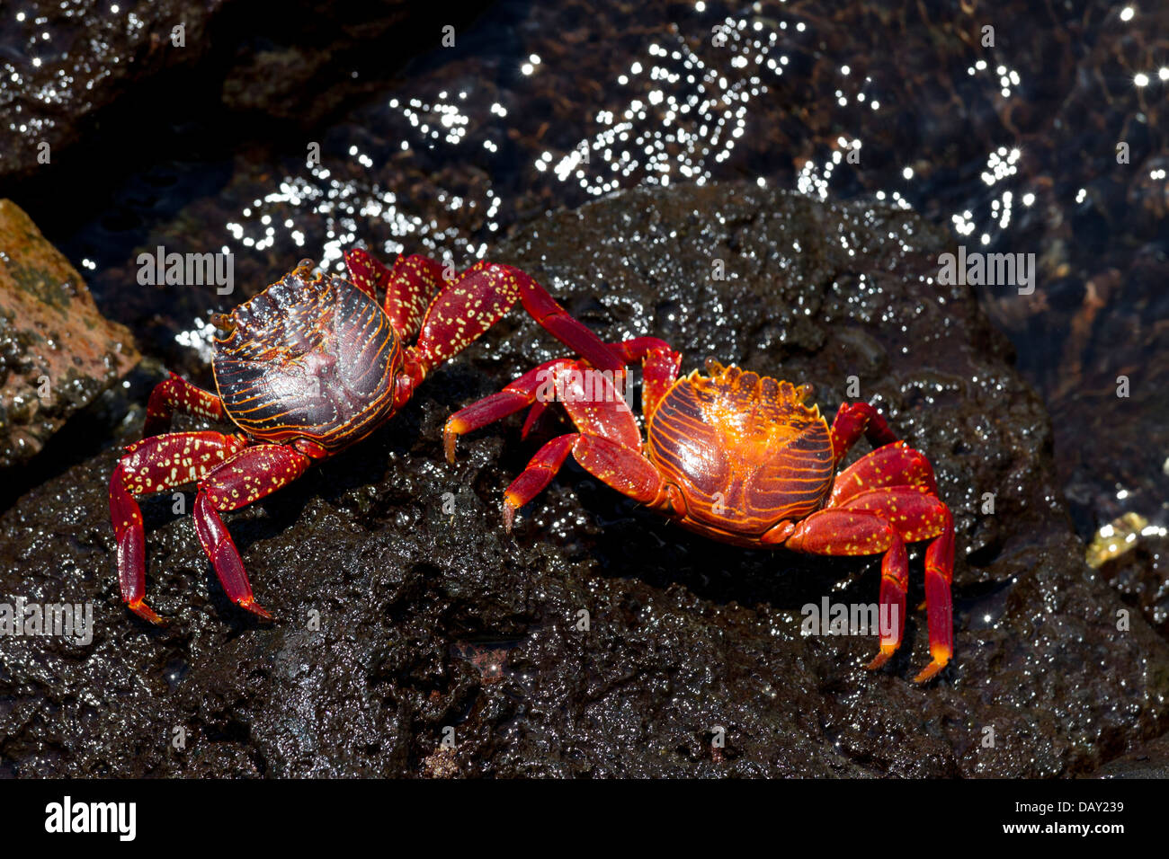 Sally Lightfoot Crab, Grapsus grapsus, Santa Cruz Island, Galapagos Islands, Ecuador - Stock Image