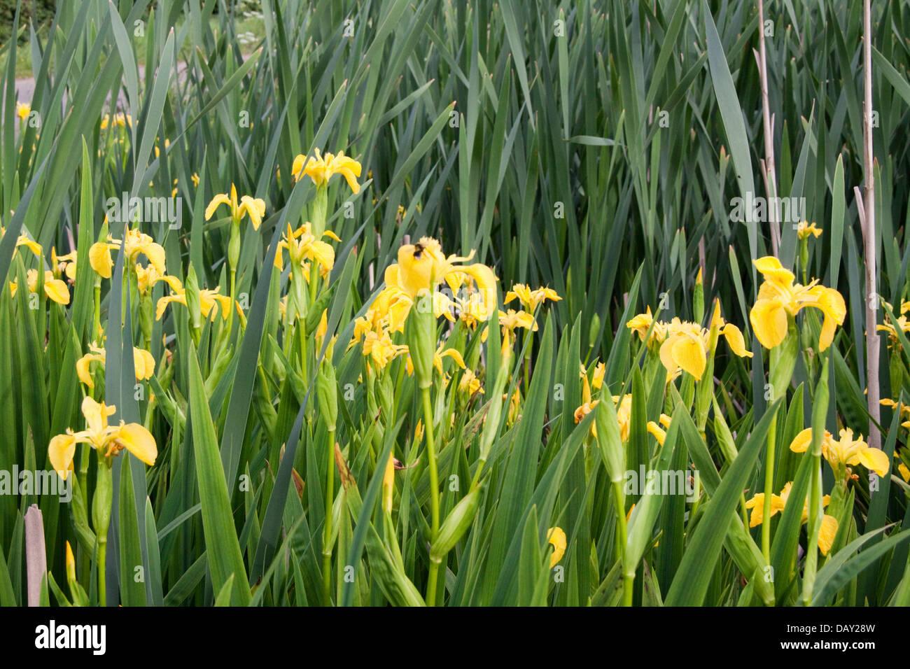 Yellow Flower Iris (Pseudacorus Iridaceae ) - Stock Image