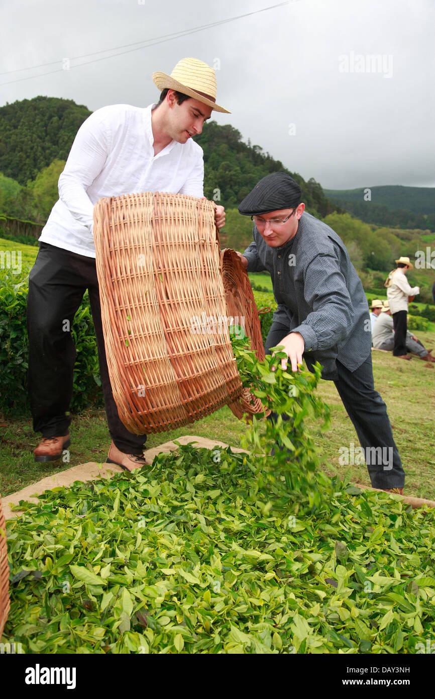 Azorean men working in the tea gardens at Porto Formoso, Sao Miguel, Azores islands, Portugal. - Stock Image