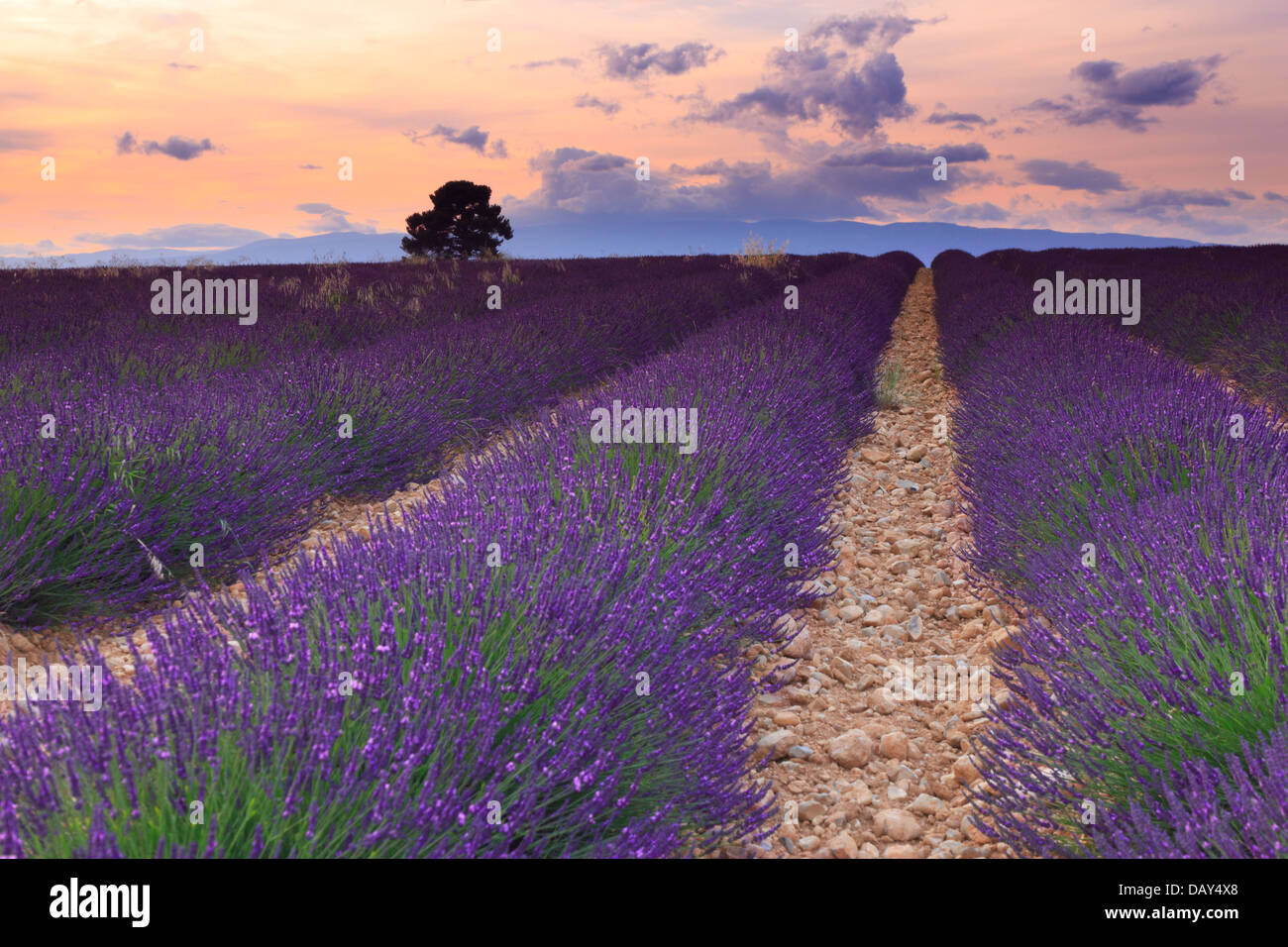 Lavender field at sunset, Provence. - Stock Image
