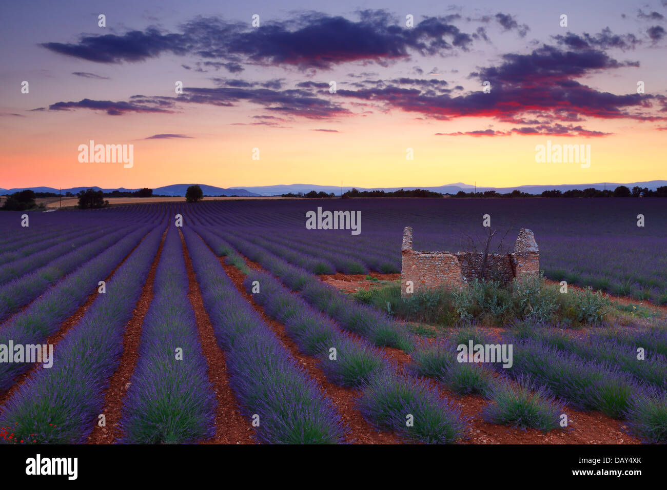 Lavender field at sunset. Provence, France. Stock Photo