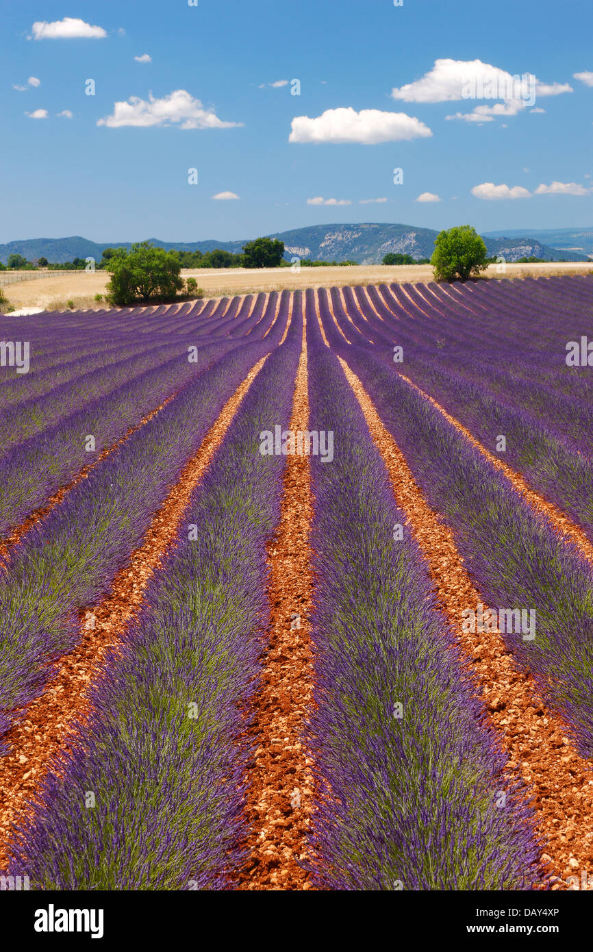 Lavender Provence - Stock Image