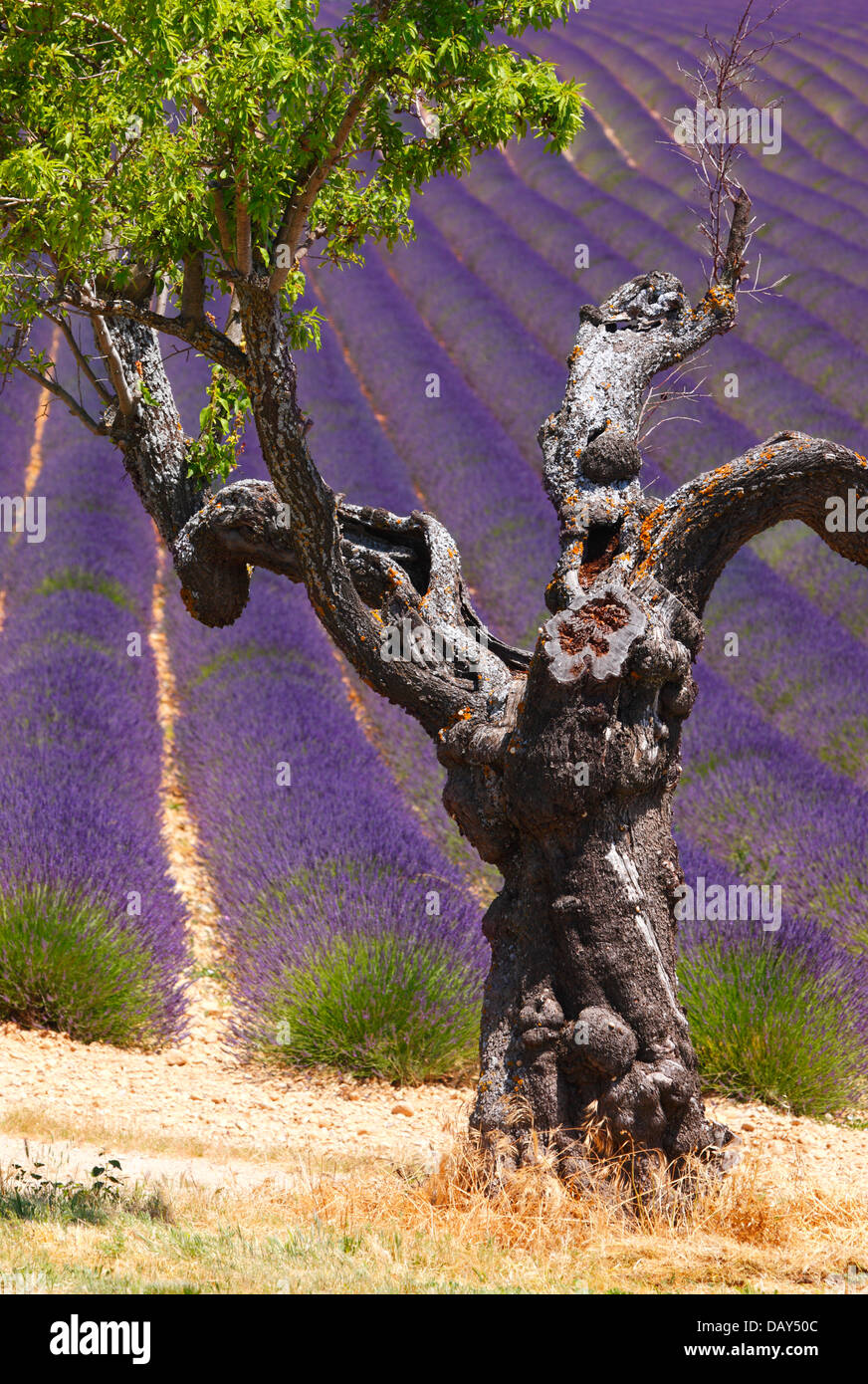 An old almond tree in lavender field in Provence, France - Stock Image