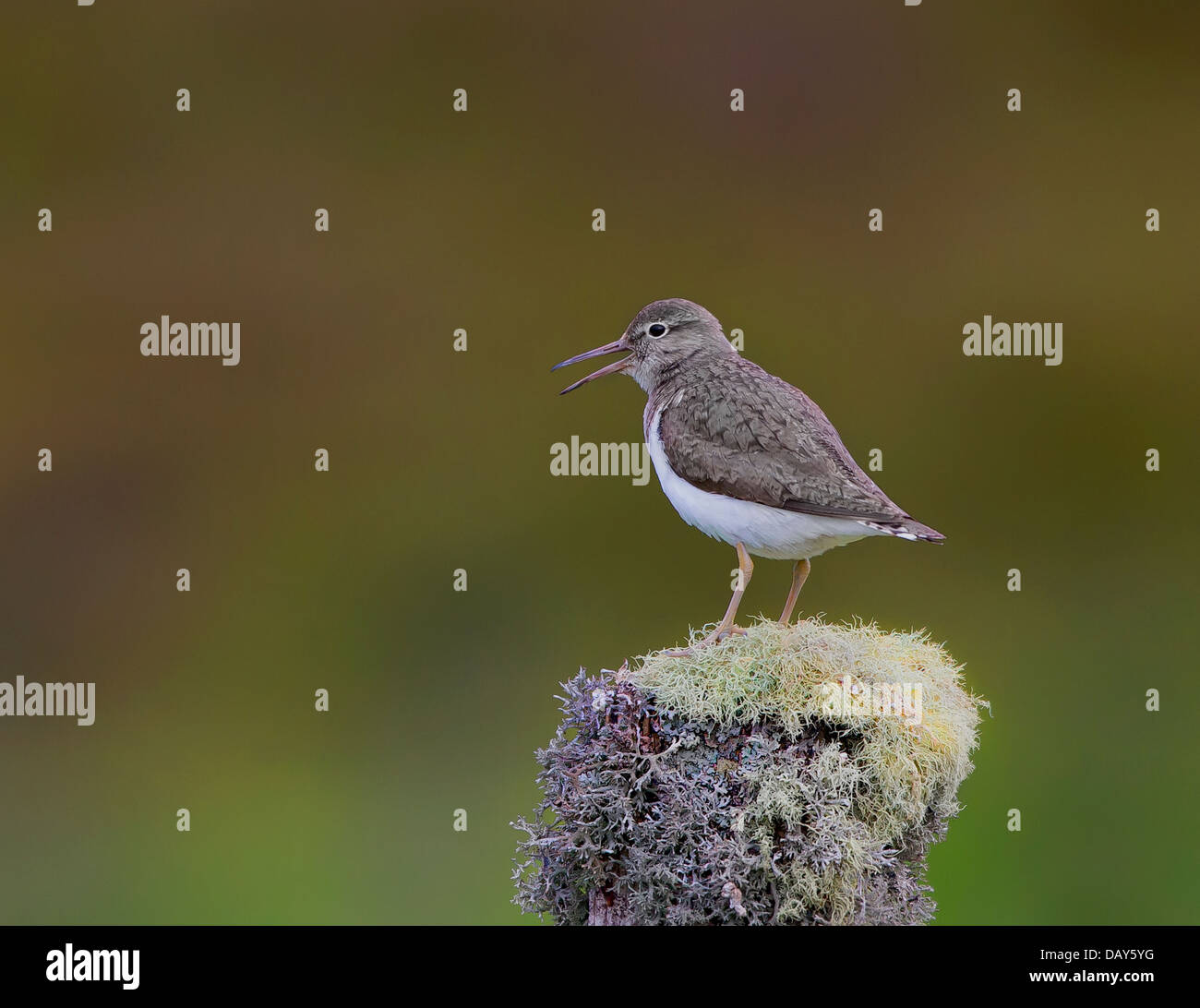 Common Sandpiper sitting on a fencepost in sleeping pose - Stock Image