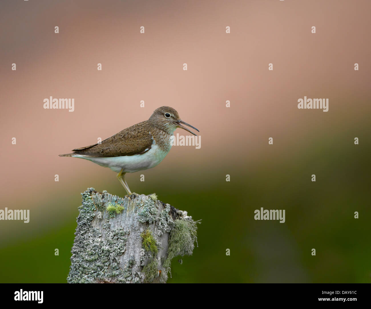 Common Sandpiper sitting on a fencepost - Stock Image