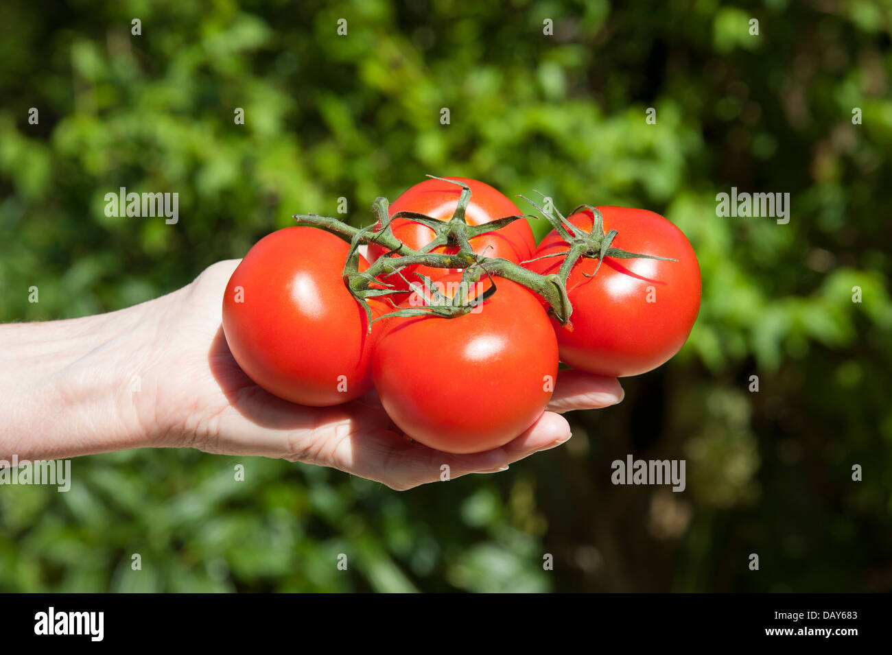 Freshly picked ripe tomatoes in a woman's hand - Stock Image