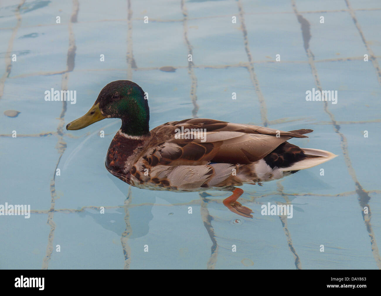 Duck bird scientific name Animalia Chordata Aves Anseriformes Anatidae - Stock Image