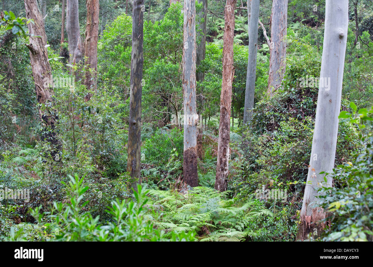 Tall wet eucalypt forest in Dharug National Park, NSW, Australia - Stock Image