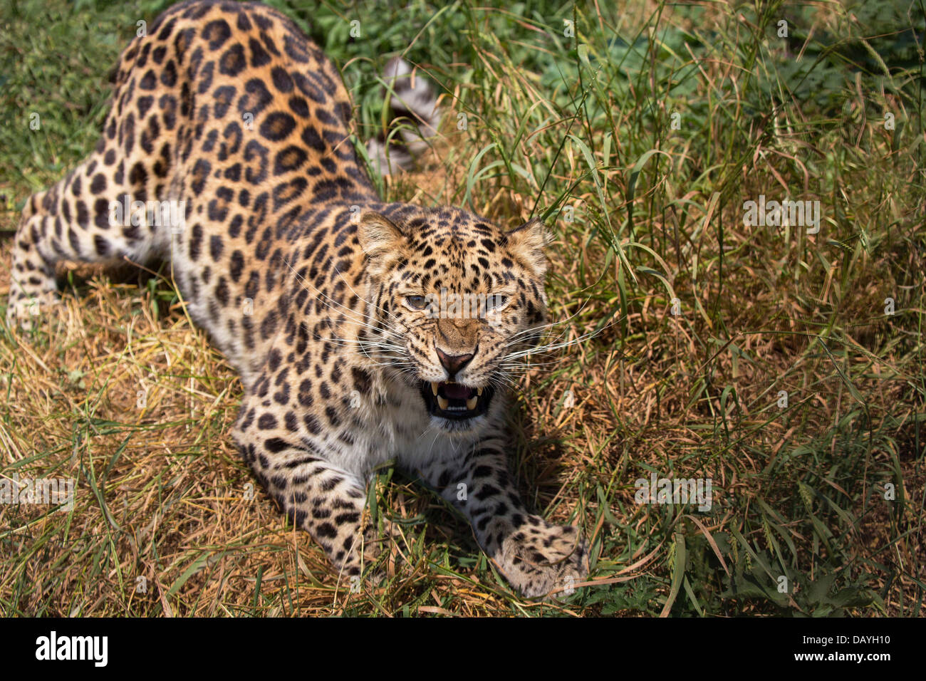 Amur Leopard, growling - Stock Image